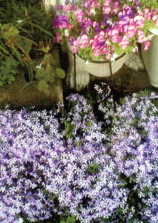 HB-101で青紫色の芝桜がたくさん咲いてくれました。