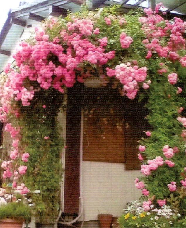 HB-101でアーチの野バラが見事に咲きました。