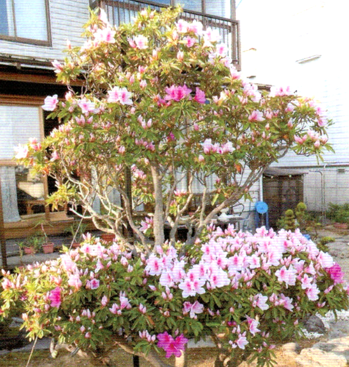 弱っていたつつじがHB-101で見事に復活し立派な花を咲かせてくれました。