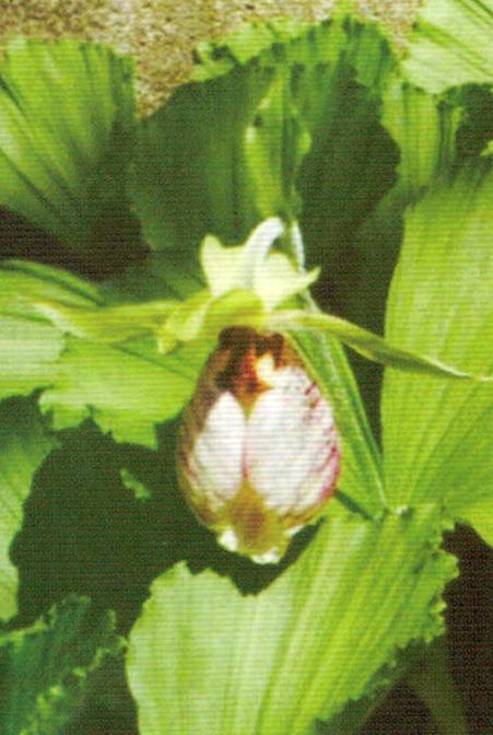 大切に育てているクマガイ草はHB-101で病菌や害虫がつかず、たくさんの大きな花をつけます。