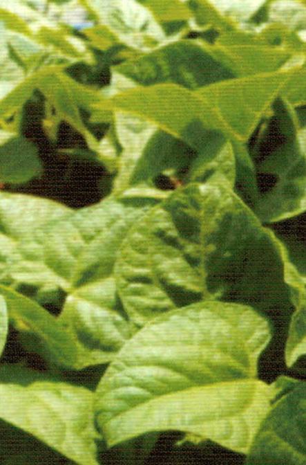 HB-101でインゲンの茎や葉は丈夫でたくましいです。