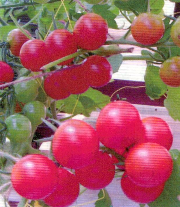 HB-101で水耕し栽培をしているミニトマトは草丈が1.8m程になり、根がものすごく発達しています。