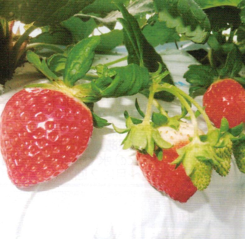 HB-101で完熟度が増し、糖度がアップし、色艶、形、香りが良く、甘味と酸味のバランスが良くなったイチゴ