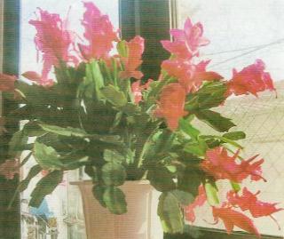 HB-101でカニサボテンがきれいに咲いている