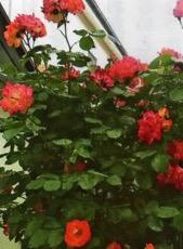HB廣報,平成29年8月号,フローラ,天然由来成分,植物エキス,植物のちから,HB-101,hb101,ハッピーバイオ,バイオ技術で明日を創る,植物活力,三重,四日市市,送料無料