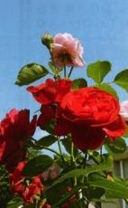 HB廣報,平成29年10月号,フローラ,天然由来成分,植物エキス,植物のちから,HB-101,hb101,ハッピーバイオ,バイオ技術で明日を創る,植物活力,三重,四日市市,送料無料