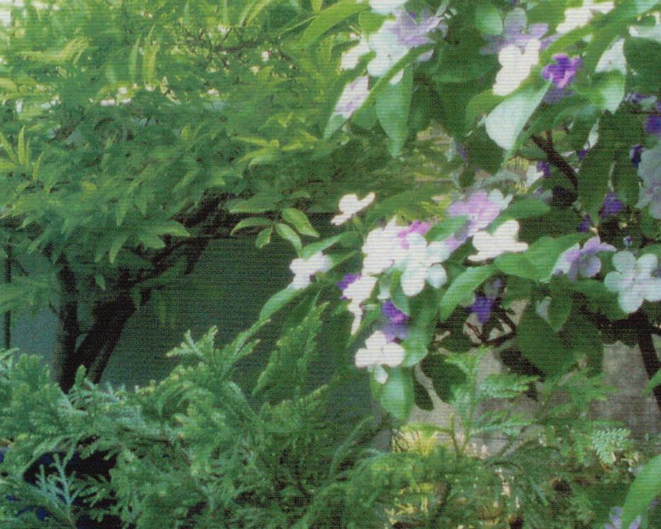 紫夏藤の花