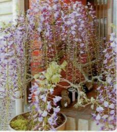 HB-101と顆粒HB-101で、藤の花が鮮やかに咲いた