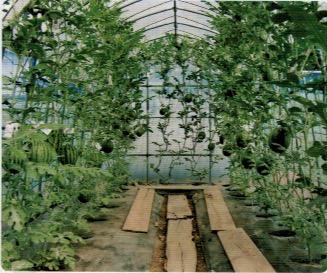 小型のビニールハウスで小玉西瓜を立体的に栽培している