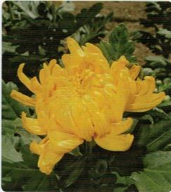 HB-101で菊の花の色と艶が良くなる