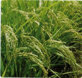 HB-101で栽培する稲田