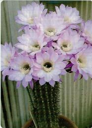 HB-101でサボテンの花が見事に咲いた