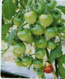 HB-101で実つきが良い中玉トマト