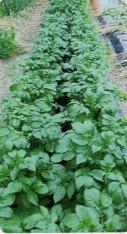 HB-101でジャガイモがたくさん収穫できる