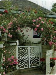 HB-101で見事に咲いた薔薇