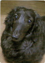 HB-101とニャンケンポンでツヤツヤな毛並みになった犬