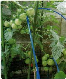 HB-101と顆粒HB-101でトマトの色つやが素晴らしい