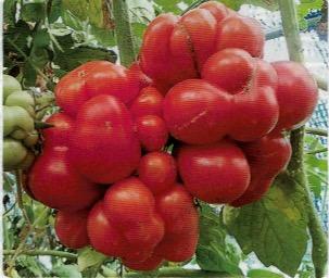 珍しいグアマテラ原産のエアルーム・トマト