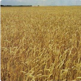 HB-101で小麦は非常に実りが良い