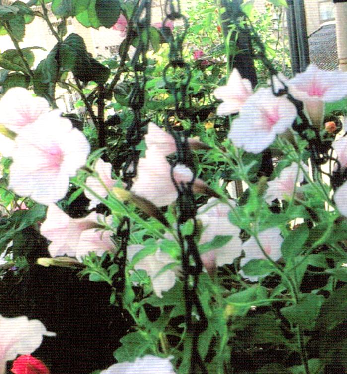 HB-101で冬を越して毎年たくさんの花をつけるサフィニア