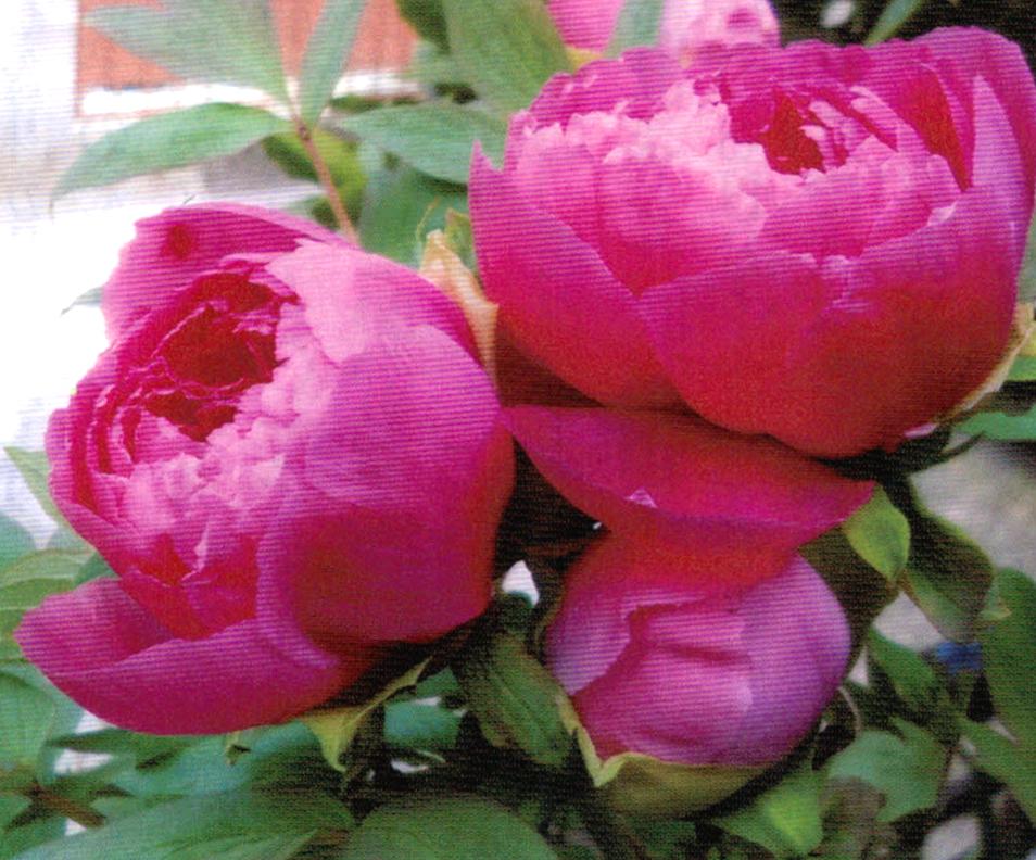 HB-101できれいなバラ