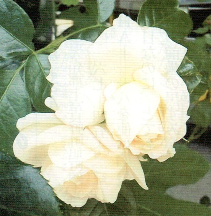 HB-101で育てたバラのマリーアントワネット