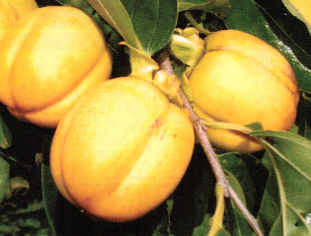 HB-101で柿は玉太りと色つやが良い