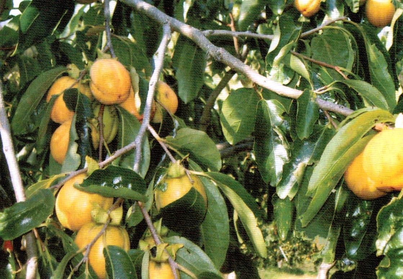 HB-101でずっしりと重量感のある立派な柿に育つ