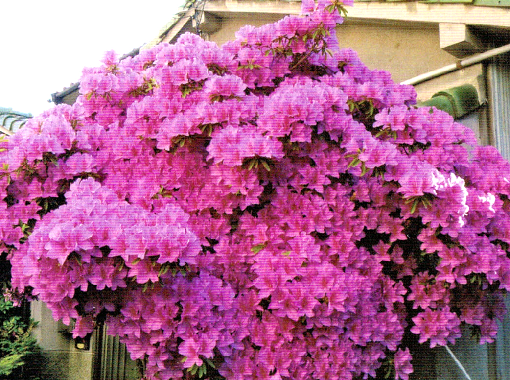 HB-101でつつじの花は色あざやかに咲いている