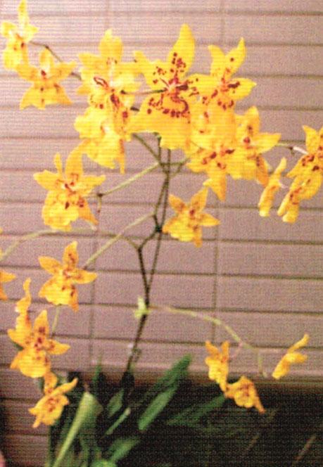 HB-101で花の発色が鮮やかなオンシジウム・タイガークロウ