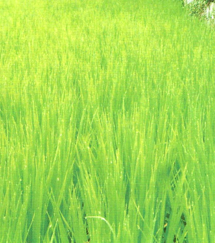 新品種のお米「恋の予感」がHB-101でかつてないほどよく育っている