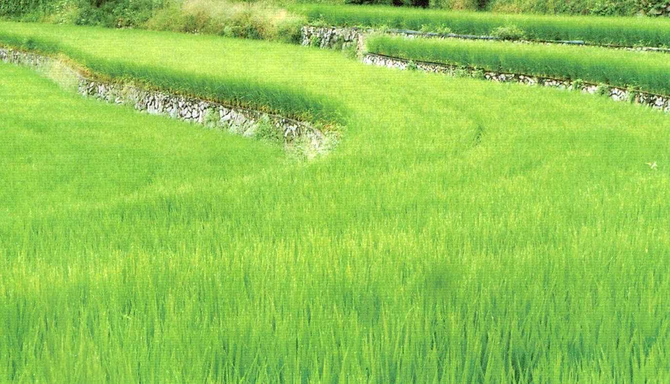 HB-101のおかげで生育も順調で株張りも良い稲
