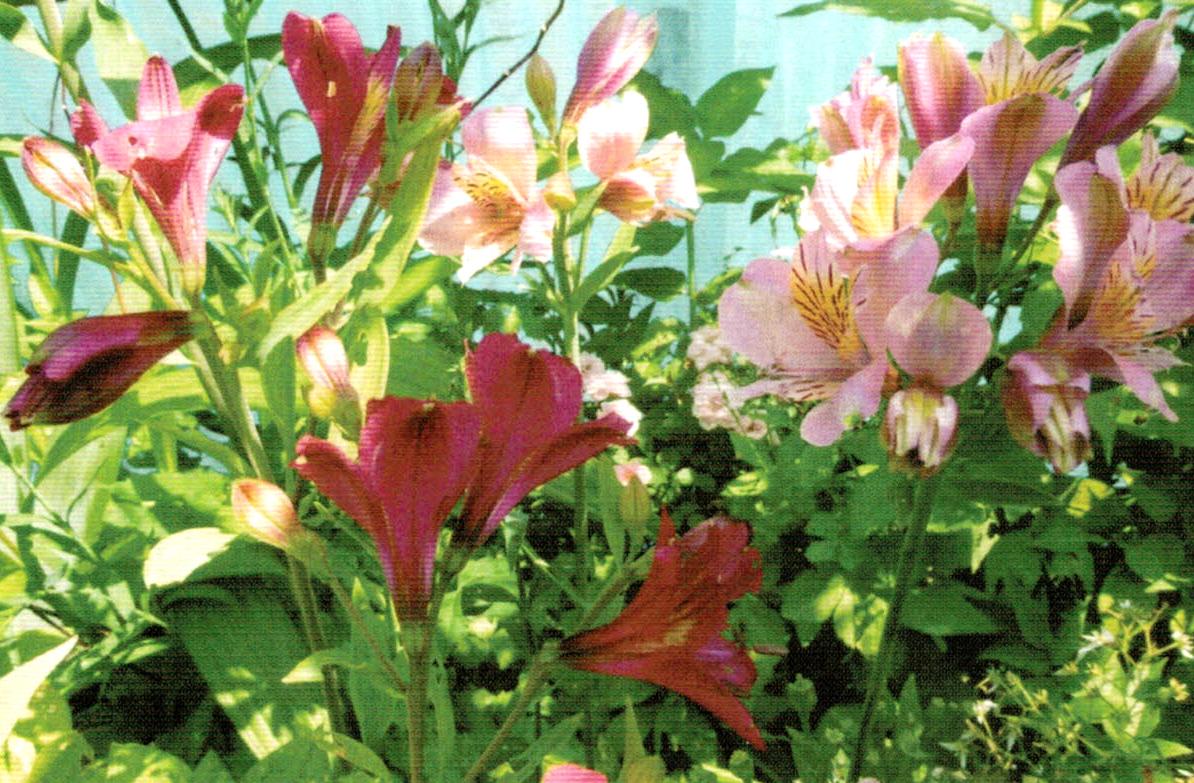 HB-101でアリストロメリアがきれいに咲き続けている