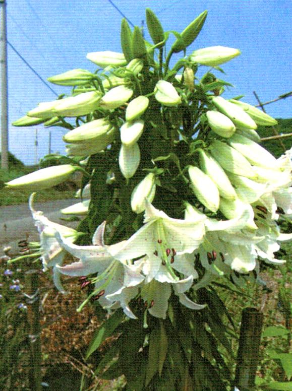 HB-101でどの百合も横巾が広くなり、数え切れないほどの花数をつけている