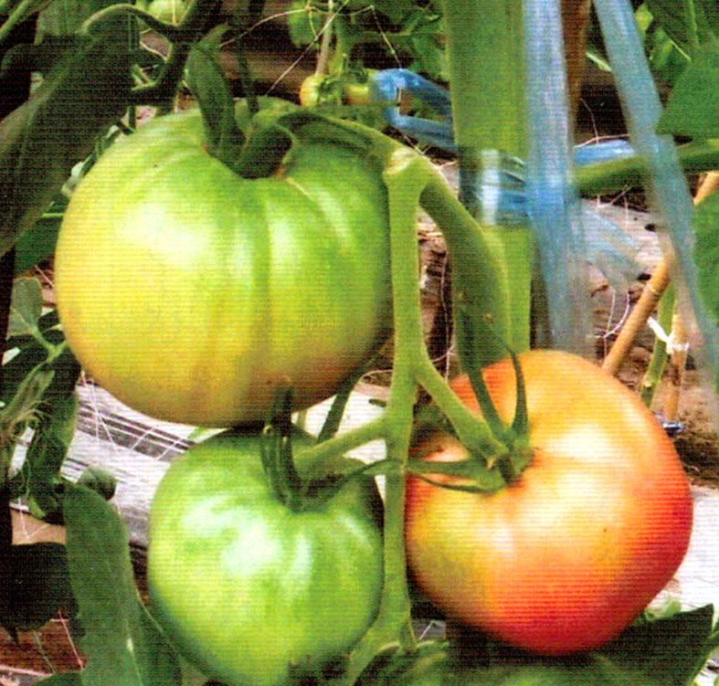 HB-101でトマトは実付きが良くおいしい