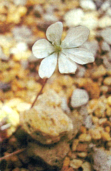 HB-101につけた種から育てたミスミソウが3年目に開花した