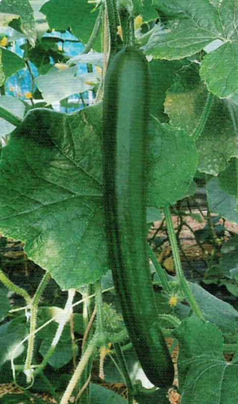 HB-101でキュウリの樹勢が非常に良く、生長が早い
