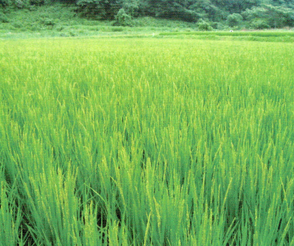 HB-101でとてもおいしいお米ができる