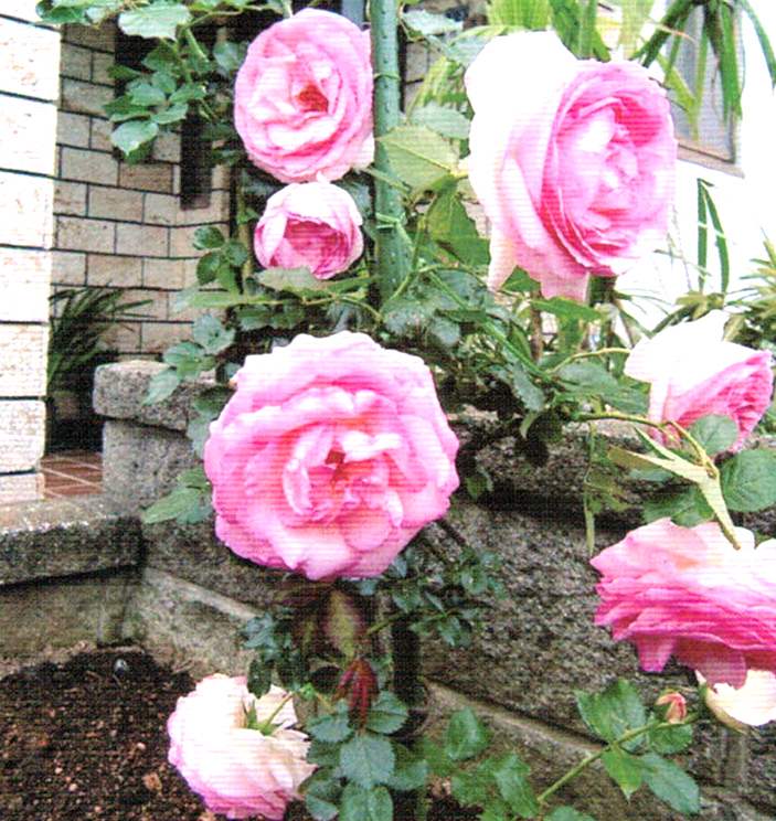 枯れかかったバラがHB-101で大きな花を咲かせた