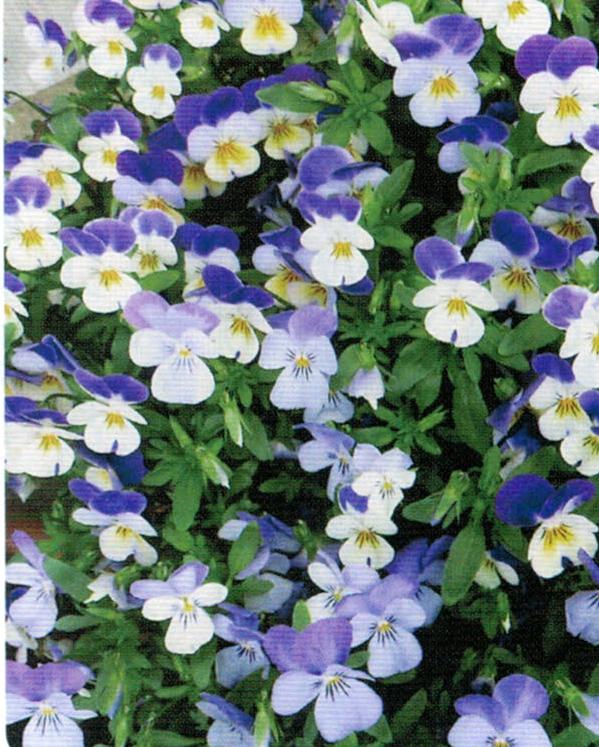 HB-101で花数が多く、美しく育った花たち