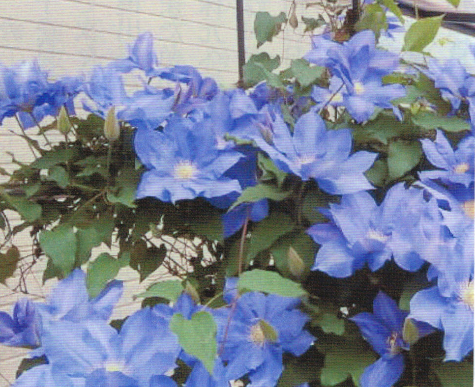 HB-101でクレマチスがテラスいっぱいに咲く