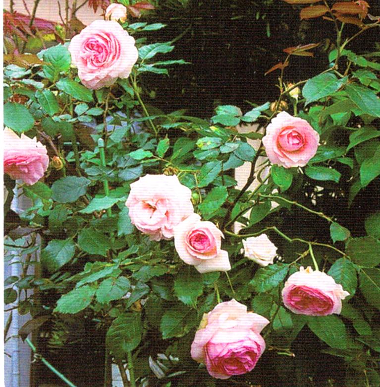 HB-101と活力肥HB-101でバラが見事に咲く