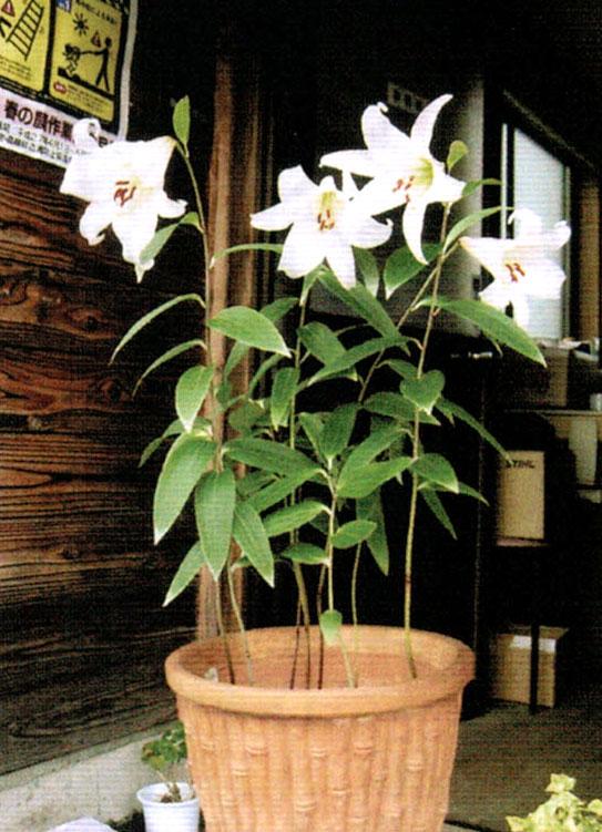 HB-101で毎年綺麗な花を咲かせてくれる