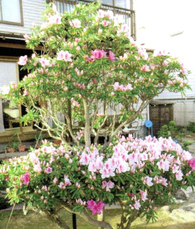 弱っていたツツジが昨年は活力肥HB-101で花を咲かせた