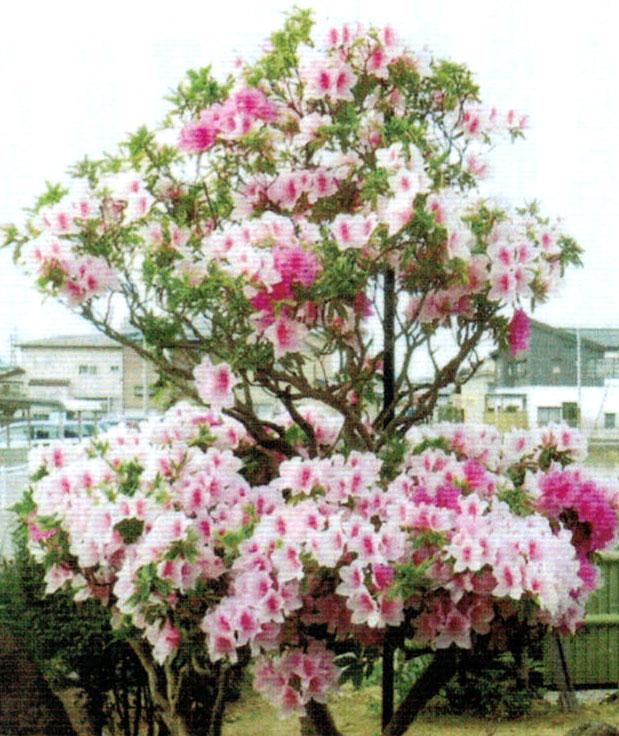顆粒HB-101で今年はさらに多くの花を咲かせたツツジ