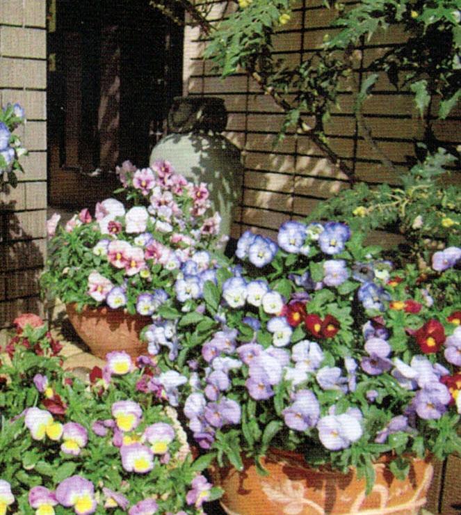 HB-101でパンジーは鉢からこぼれんばかりに咲き競っている