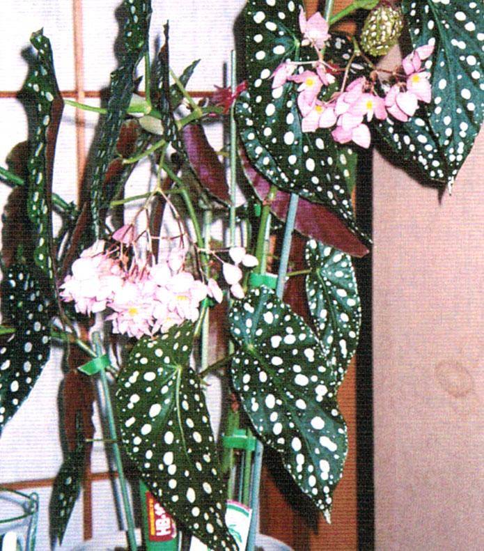 HB-101でピンクサプライズドの葉と花の色艶が良い