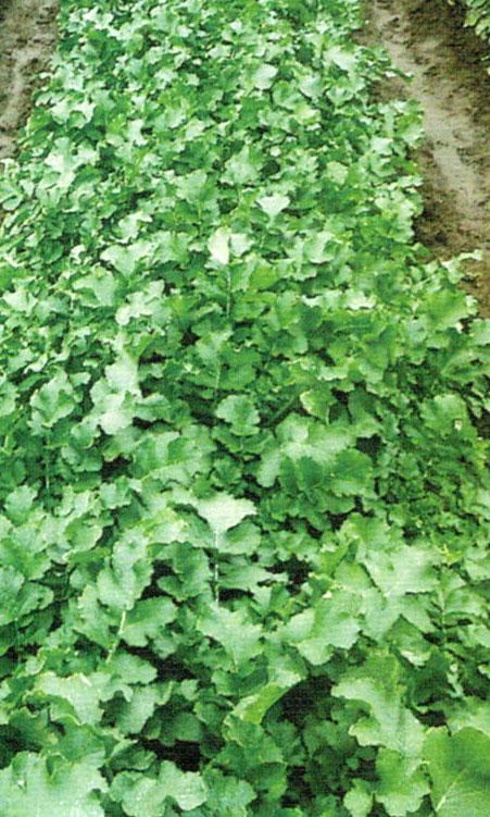 HB-101で大根とカブは強い苗が出来、しっかりした茎が出来、勢いがつく