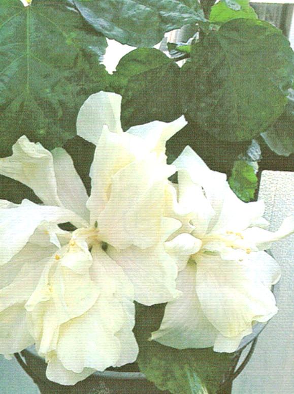 HB-101でハイビスカスは大きな花を咲かせる