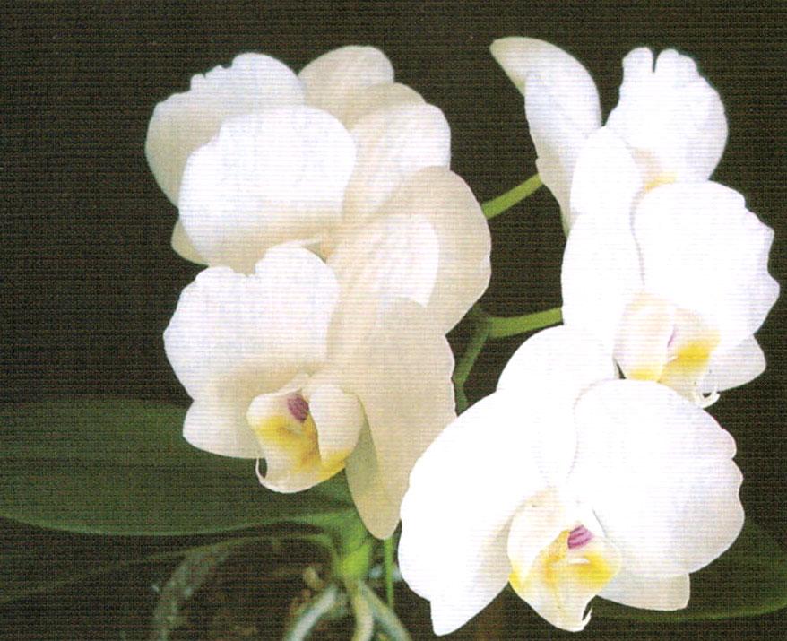 HB-101のエキスを吸収した純白の胡蝶蘭
